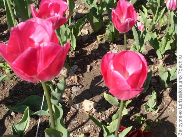 Тюльпан сорт Preludium
