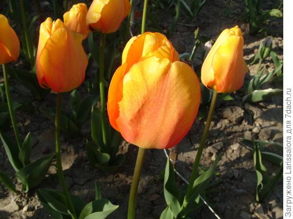 Тюльпан сорт Beauty of Apeldoorn