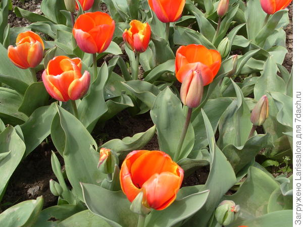 Тюльпан сорт Ad Rem