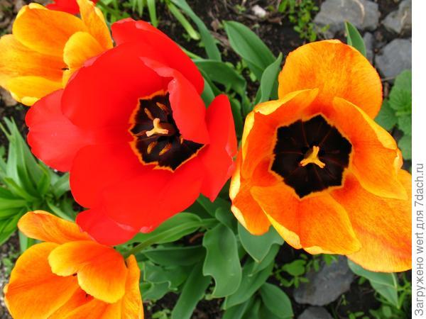 Красный и оранжевый тюльпаны