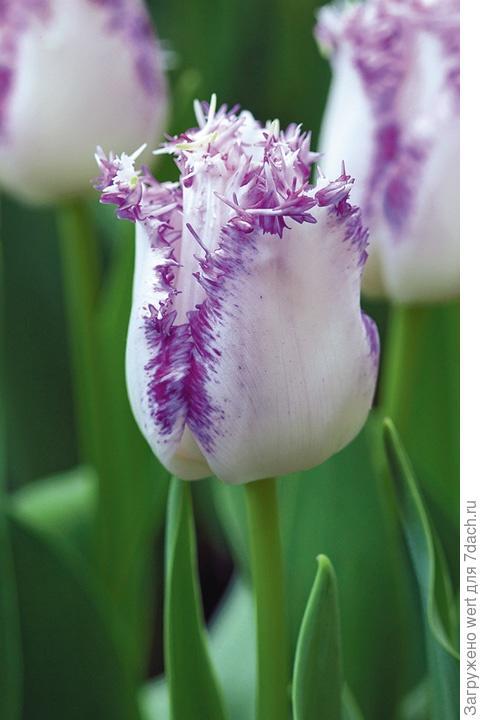 Оригинальный тюльпан