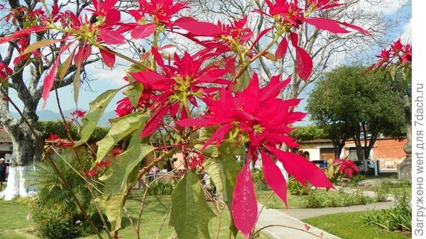 Гватемала цветы