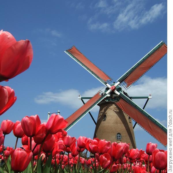 Поля тюльпанов в Голландии с мельницей