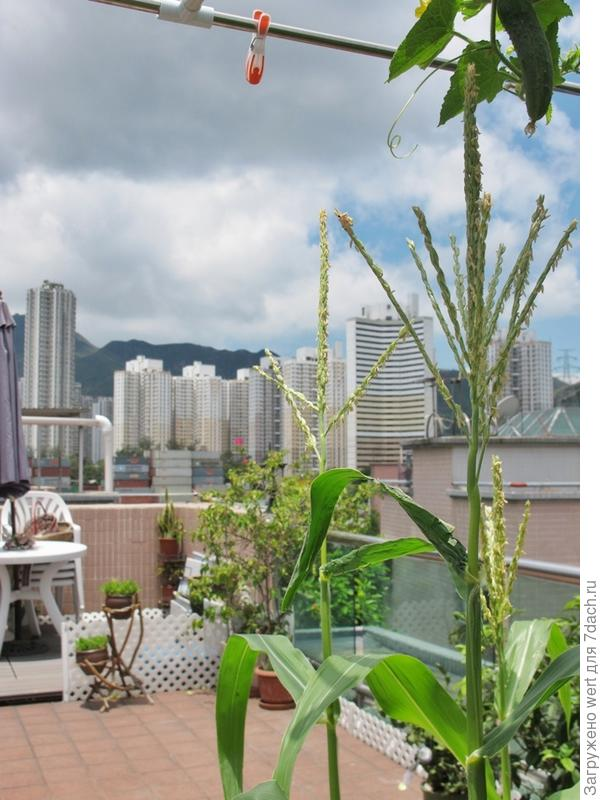 Кукуруза в огороде на крыше