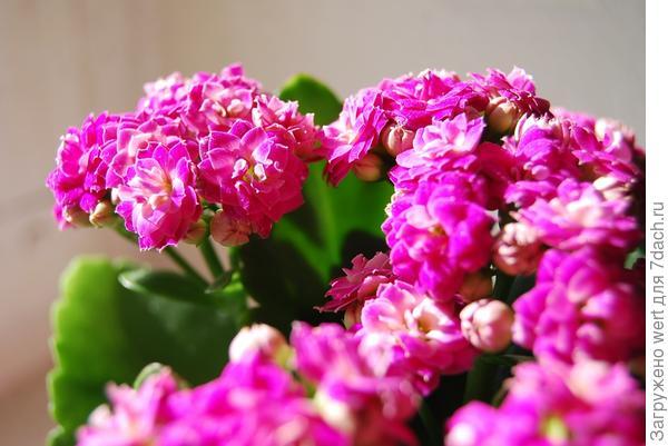 Пурпурное каланхоэ