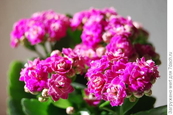 Пурпурное каланхое