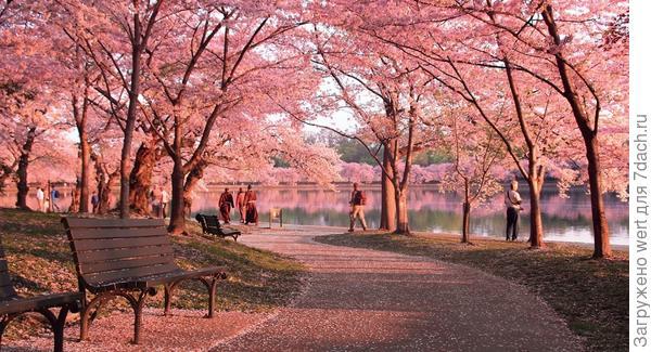 Фестиваль цветения вишни в Вашингтоне, США