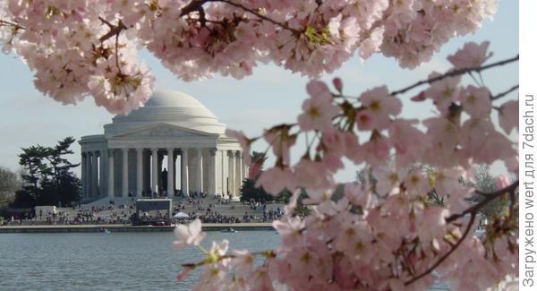 Вишня в Вашингтоне