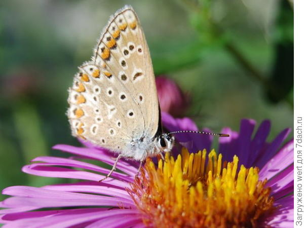 Желтая бабочка с черными пятнами и голубым тельцем