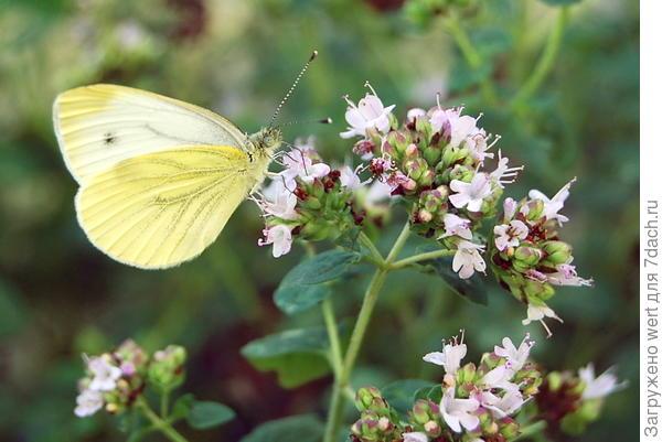 Бабочка лимонница со слегка белым крылом