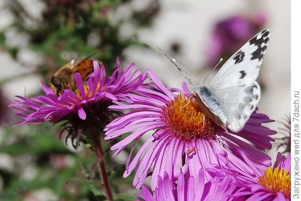 Белая бабочка с черными точками