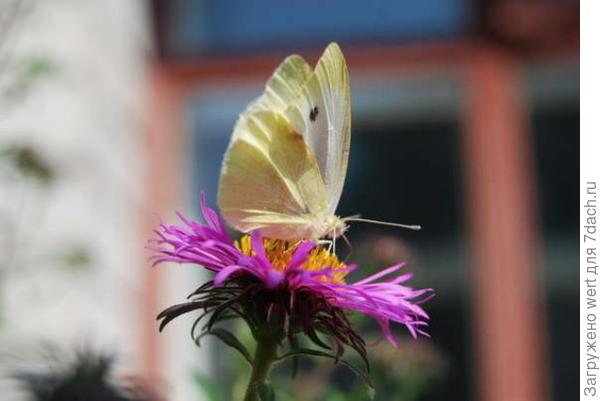 Желтая бабочка