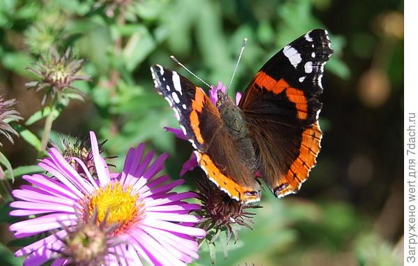 Черная бабочка с рыжими полосами и белыми пятнами