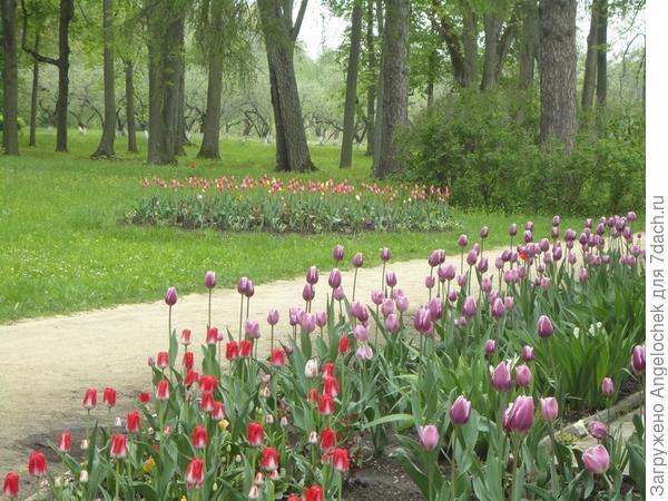тюльпаны в Спасском