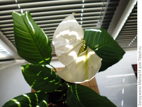 Цветок Женского счастья