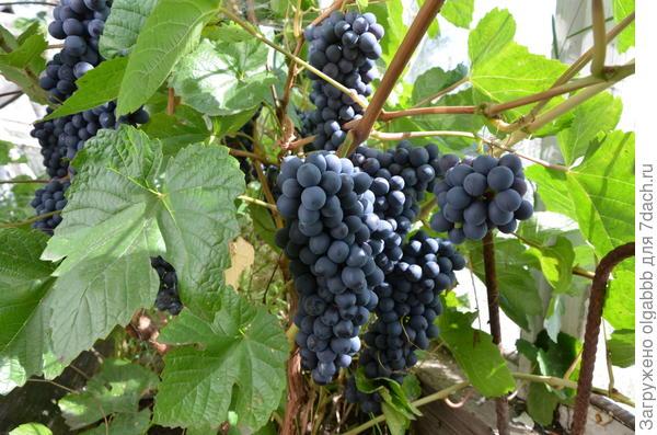 виноград прошлого года