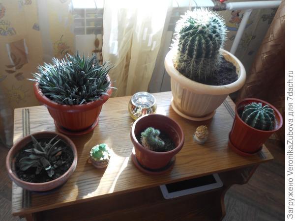 Наши кактусы