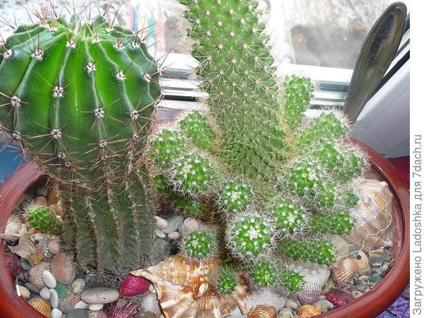 Backebergiana после цветения дала сразу много деток.