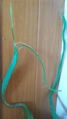 Побеги кактуса