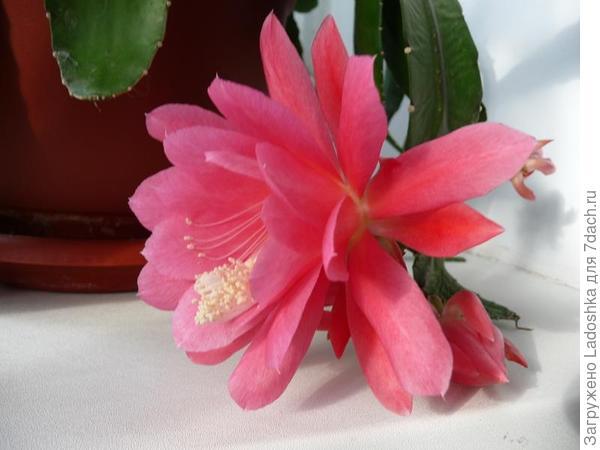 Цветок Эпифиллума