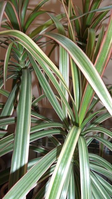 Листья пестролистой драцены