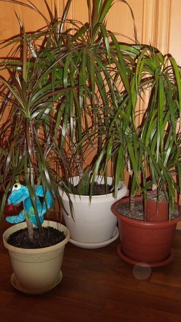 Dracaena - суккулентные кустарники