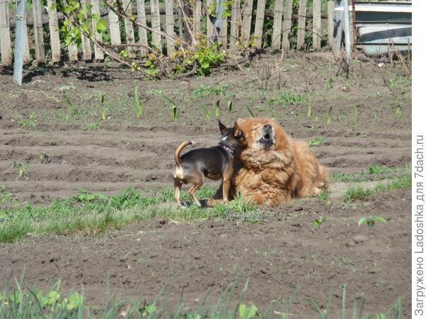Вот мои два охранника : Кузя (той) и Боня (чау-чау)