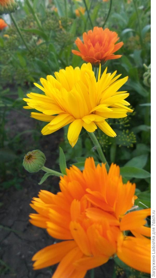 Календула поднимает настроение своими солнечными цветами