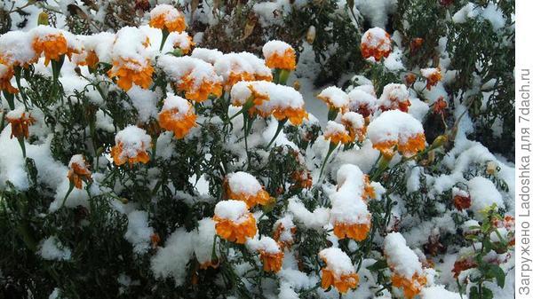 Бархатцы под снегом