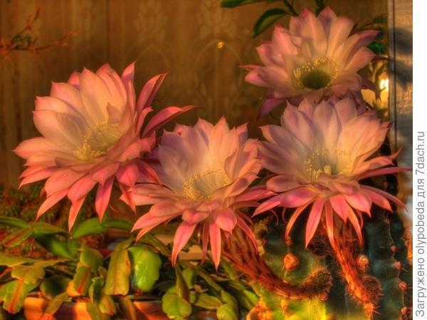 Цветы кактуса.
