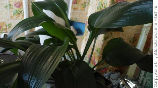 Амариллис или комнатная лилия