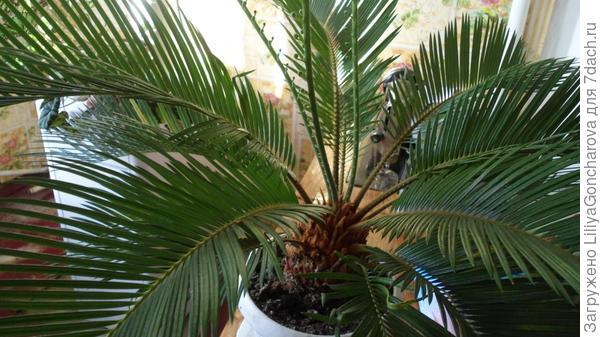 Цикас,он же саговая пальма