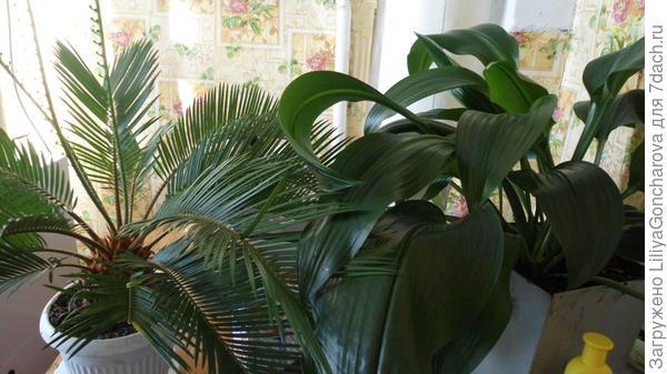 Цикас, саговая пальма и Амариллис или комнатная лилия