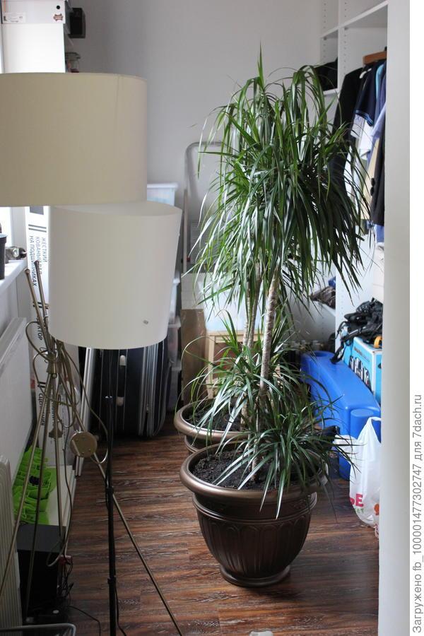 Есть и пальмы-тоже их люблю. Это Драцена.