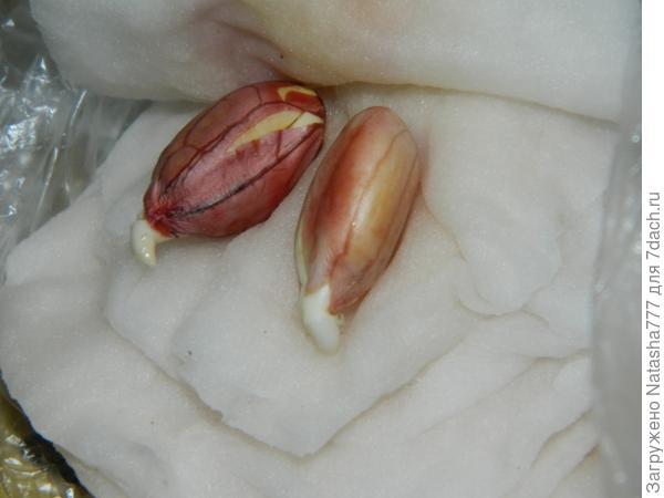 проросли орехи