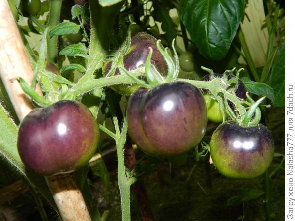 томат