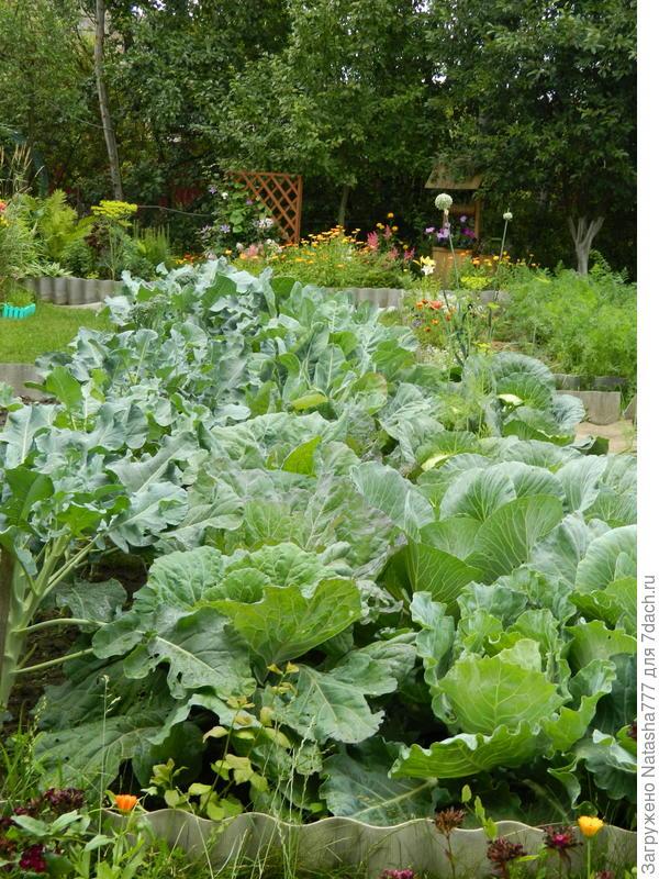 огород капустный