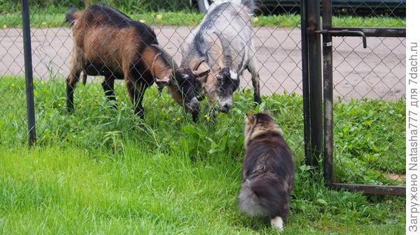 кот и козы