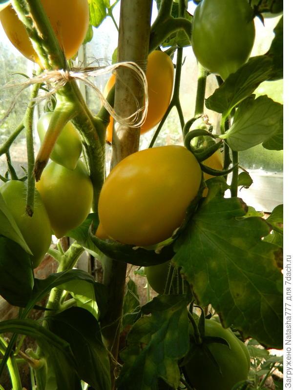 желтеет помидорчик