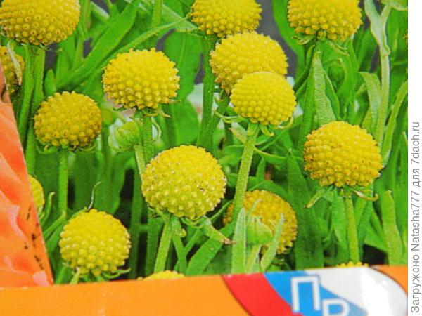 цефалофора ароматная ананасовый десерт