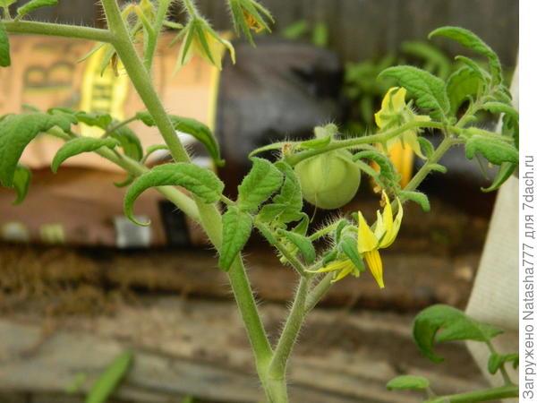 первый помидорчик