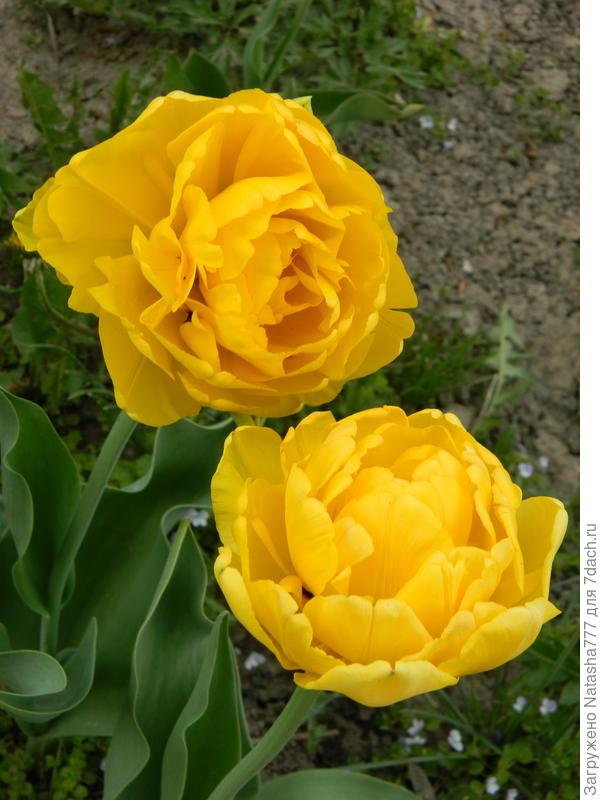 желтый пионовидный тюльпан