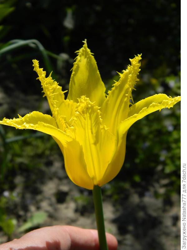 тюльпан-лилия