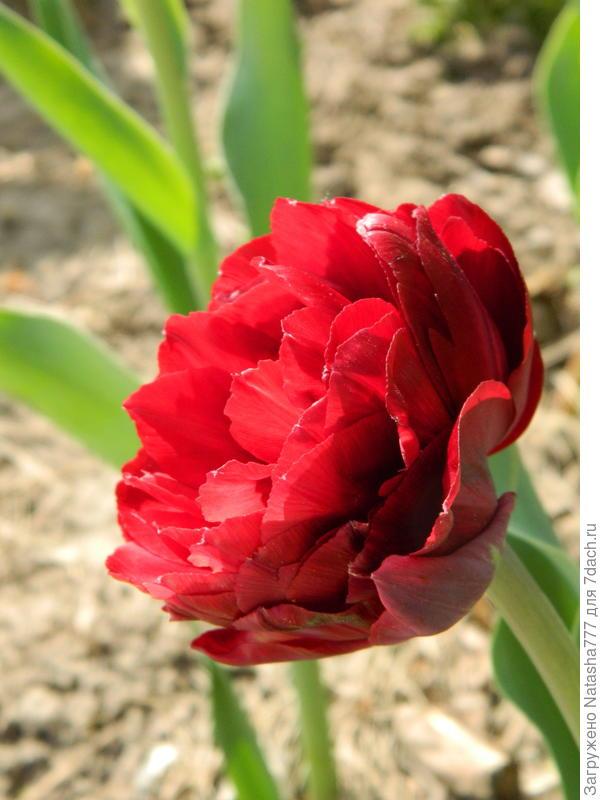 тюльпан-пион