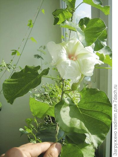Цветок ипомеи беложильчатой (Ipomoea albivenia)