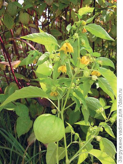 Физалис — «китайский фонарик» в нашем саду