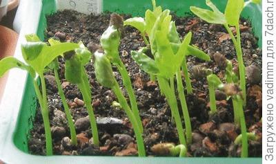 Проклюнувшиеся из семян «малыши» ипомеи беложильчатой (Ipomoea albivenia)