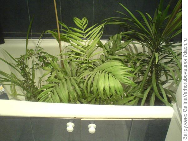 Многие мои растения вы можете два раза в год увидеть в ванной.