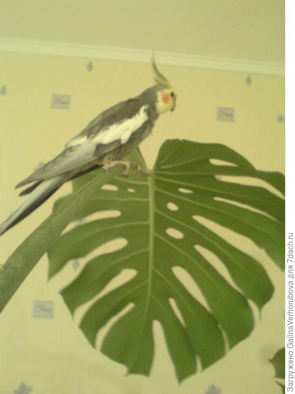 Однажды ей на ветку сел наш попугай Кеша