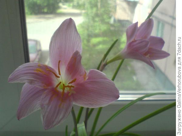 Это - цветок зефира (зефирантес), удивительно точно названный людьми выскочкой.